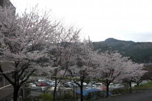 ケアハウスの桜
